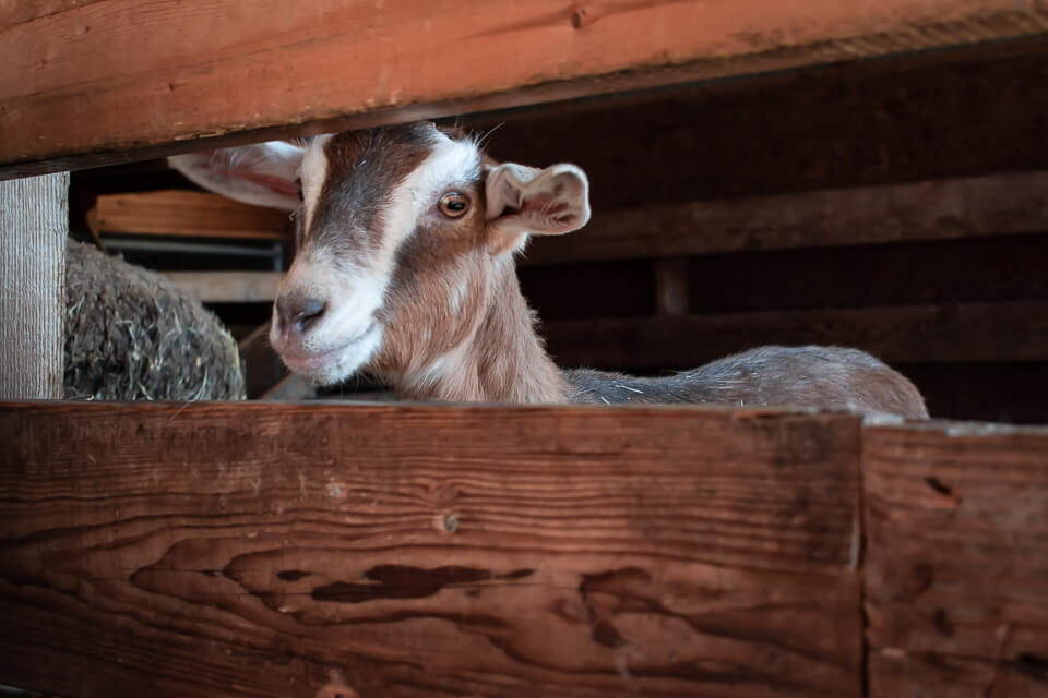 Goat: Morningstar Farm | Little Qualicum Cheeseworks